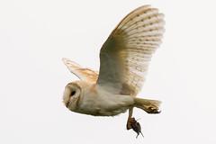 Tyto on White (jammo s) Tags: barnowl owl tytoalba wildowl birdofprey bird birdinflight wildbarnowl flying vole nature wildlife canoneos80d canonef400mmf56lusm