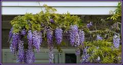 Wisteria (idunbarreid) Tags: wisteria