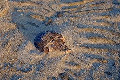 Horseshoe Crab Shell Buried in Sand (magicnature) Tags: chincoteague national wildlife refuge horseshoe crab shell buried sand