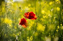 Last days of Summer (Steph J Clarke) Tags: poppy poppies flowers summer rapeseed walkingessington southstaffordshire southstaffs wolverhampton nature outdoors