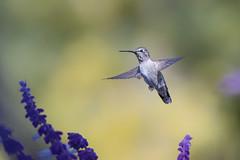 Fall Hummer (Patricia Ware) Tags: annashummingbird birdsinflight california calypteanna canon ef400mmf56lusm mexicanbushsage palosverdespeninsula salvialeucantha ©2016patriciawareallrightsreserved rollinghillsestates unitedstates us specanimal