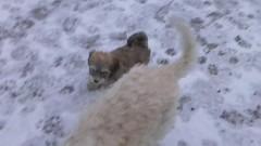 ::video:: Our pack in the yard (elsu) Tags: irish dog puppy video cola terrier norris wheaten havanese softcoatedwheatenterrier koira softcoated leutola irishsoftcoatedwheatenterrier pentu bichonhavanese vehnterrieri vehnis xaviernorris norriscola havannankoira bischonhavanese nocoel