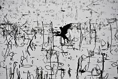 Herons hallucination? (nandadevieast) Tags: blackandwhite bw india lake bird heron canon fishes uttarpradesh nawabganj 40d canon40d unnao nawabganjbirdsanctuary