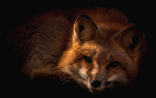Red Fox Portrait
