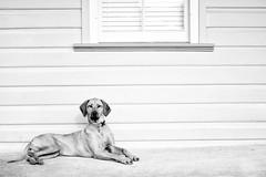 Big Dog (Leighton Wallis) Tags: dog house window newcastle australia veranda nsw newsouthwales bigdog