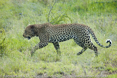 """Leopard • <a style=""""font-size:0.8em;"""" href=""""http://www.flickr.com/photos/56545707@N05/8399208846/"""" target=""""_blank"""">View on Flickr</a>"""