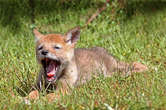 Nap Time (Peggy Collins) Tags: coyote interestingness britishcolumbia teeth yawn bored boring explore sleepy tired pacificnorthwest sunshinecoast yawning sharpteeth coyotepup animalyawning peggycollins babycoyote