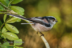 Long Tailed Tit (Nigel Dell) Tags: winter birds flickr wildlife places hampshire fleet fsg longtailedtit ngdphotos