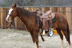 Kika - Paint mare  (18) (tanyerhide) Tags: world show horses horse kids children bay shot fair rope riding pony deal rides ponies safe halter impressive buckskin dapple dun sorting palomino gelding aqha ranchrodeo workingcowhorse kidclu