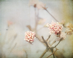 (silviaON) Tags: flower bush blossom january textured 2013 memoriesbook bsactions lesbrumes oracope pixelloungesoftaction