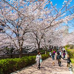 Meguro River Side / Tokyo, Japan (yameme) Tags: travel flowers nature japan canon eos tokyo  sakura shinagawa cherryblossoms    meguro    24105mmlis  5dmarkii 5d2