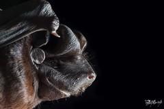 Molossus rufus