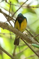 DSC09169 (teckhengwang) Tags: park brown bird singapore sony alpha pasir sunbird ris throated a850 sal70400g