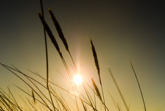 Bright Winter Sun (Peddans) Tags: sky sun sunlight reed nature closeup reeds coast nikon sweden bokeh swedish clear straws vass d7000