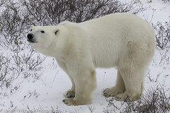 "Polar Bear in Churchill, Manitoba. • <a style=""font-size:0.8em;"" href=""http://www.flickr.com/photos/92120860@N06/8454774076/"" target=""_blank"">View on Flickr</a>"