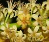 Adenanthera pavonina Airlie Beach Park P1130634 (Steve & Alison1) Tags: airliebeach mimosaceae redbeadtree arfp adenantherapavonina australianrainforestplants adenanthera qrfp arfflowers yellowarfflowers galleryarf lowlandarf