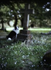 Snowdrops and the Crooked Cross (Robots are Stupid) Tags: uk flowers england dog blur cemetery grave graveyard stone rural death 50mm sussex countryside spring flora nikon collie cross westsussex buried britain wildlife rip headstone ghost religion conservation haunted depthoffield spooky funeral harvey gb gravestone burial snowdrops ghosts wildflowers christianity bordercollie leaning springflowers crooked southdowns snowdrop englishcountryside holycross midhurst shallowdepthoffield restinpeace conservationarea 50mmnikkor countryvillage ruralengland winterflowers deadandburied elsted treyford graveyardflowers ruralsussex hauntedgraveyard d700 nikond700 englishgraveyard sussexcountryside southdownsnationalpark daviddalley davidjdalley horribleharvey graveyardwildlife treyfordcemetery treyfordgraveyard