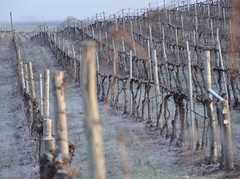Frosty Vineyard