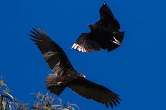 Black Vulture (coragyps atratus) & Turkey Vulture (cathartes aura) (Pets4Dawn) Tags: california birds flying unitedstates adult northamerica morrobay blackvulture coragypsatratus turkeyvulture cathartesaura identifiers sanluisobispoarea