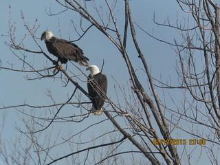 Bald Eagle by Russ Allison