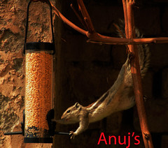 Gotcha!!! (Anuj Kumar Sharma) Tags: food canon wow nice squirrel flickr wheat picture birdfeeder pic collection explore hanging tamron gotcha anuj anujs hangingsquirrel beautifulpicture nicepic canont3i piconflickr