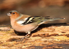 Chaffinch (Dan van Orsouw) Tags: wood sunlight bird birds canon woodland eos kent woods britain d united 14 4 great nuts seed kingdom canterbury 420 seeds 300mm finch f 40 mm 300 nut 500 f4 dunkirk chaffinch f40 faversham 500d 14x 420mm bossenden