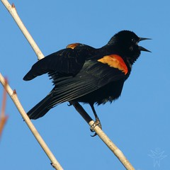 Red-winged Blackbird (Agelaius phoeniceus) (Shutter_Hand) Tags: red usa black male rot bird rouge dallas rojo noir texas sony negro pássaro vermelho ave pajaro alpha aus macho rosso oiseau negre vogel pájaro 红色 a77 uccello красный 鳥 whiterocklake redwingedblackbird röd agelaiusphoeniceus itim 黑色 赤 sargento птица 鸟类 पक्षी κόκκινο लाल tordoalirrojo tordocapitán mayitodelaciénaga lenscraft slta77v sonyalphaa77 miguelmendozamuñoz sigma150500mmf563dgoshsmapolens