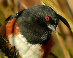Black And White And Red All Over - Your Morning 'Mews' (ebirdman) Tags: male spotted towhee spottedtowhee pipilomaculatus pipilo maculatus
