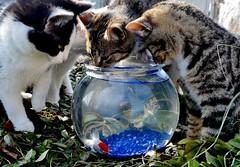 ......cat dinner? (*Red Scales Dragon*) Tags: winter summer cats green dinner cat spring kitten goldfish tabby kittens bowl fishbowl end supper harmed tabbycat