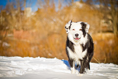 Standing in the Snow (Anda74) Tags: snow m42 bordercollie ouzo manualfocus asahisupertakumar50mmf14