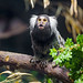 Marmoset on the branch