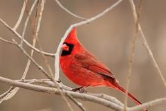 Cardinal (Sandra_Gilchrist) Tags: ontario bird cardinal conservation whitby shores conservationarea lynde lyndeshores cranberrymarsh hallsroad cloca centrallakeontarioconservationauthority