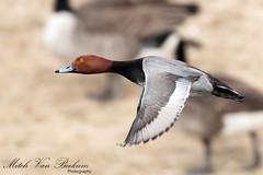 Redhead Drake In Flight (Mitch Vanbeekum Photography) Tags: duck inflight redhead drake aythyaamericana birdinflight clarkdrive thewonderfulworldofbirds canon5dmkiii mtolivenj canonef500mmf4is redheaddrake canon14teleconvertermkiii