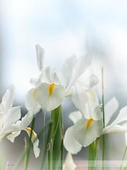 mi casa ha sido tomada por las flores (Isidr Cea) Tags: flower primavera spring flor calanchoe samyang85mmf14 wwwisidroceacom liliumsalvaje