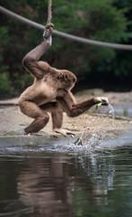 _DSC2811.jpg (Ingeborg Ruyken) Tags: zoo march nederland thenetherlands ape aap rhenen maart dierentuin naturephotography ouwehandsdierenpark zooanimals natuurfotografie 2013 withandgibbon largibbon maartjegozefoort catzooanimals