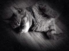 Cat (TittaBilder) Tags: blackandwhite cat fur paw soft floor paws relaxed katt svartvit tass svartvitt päls mjuk tassar avslappnad uploaded:by=flickrmobile flickriosapp:filter=nofilter