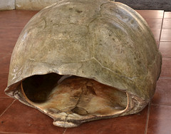 Galapagos - Santa Cruz Island - Tortoise Sanctuary - Giant Tortoise Shell (sweetpeapolly2012) Tags: