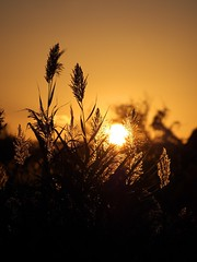 Phragmites Sunset 5 (CH-Scenes) Tags: sunset golden newjersey jerseycity nj phragmites libertystatepark hudsoncounty