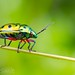 Jewel Bug (Calliphara nobilis)