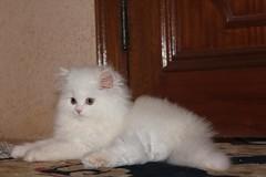 Cat9661 (2) (Cat9661) Tags: animals cat حيوانات مون قطط هاف بسة فيس شيرازي بيكي بساس هملايا