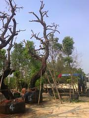 ต้นพะยอม5