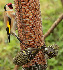 Canon EOS 60D.Canon 70-300mm Lens.Goldfinch And Siskins On The Peanut Feeder.March 19th 2013. (Blue Melanistic.One Million Views.) Tags: ireland nature fauna march spring wildlife goldfinch windy overcast backgarden kitchenwindow ulster verycold tyrone birdfeeders wildbirds doubleglazing siskins snowshowers 2013 peanutfeeder canon70300mmlens canoneos60d bluemelanistic hazelscreen