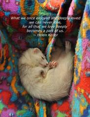 In memory of Chi (librariansarah) Tags: inmemory ferret memorial rip furet