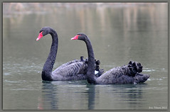 Black Swan / Zwarte zwanen / Cygnus atratus (Eric Tilman) Tags: black swan zwarte cygnus zwanen atratus rememberthatmomentlevel1 rememberthatmomentlevel2 rememberthatmomentlevel3