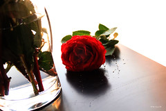 rose (Willey 3K) Tags: light red flower green love water rose day