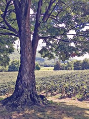 (amy higgins) Tags: iphone naples new york vineyards