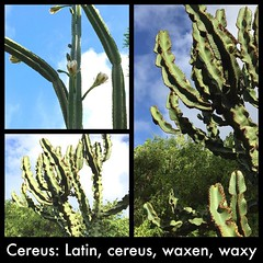 Cereus: Latin, cereus, waxen, wax (Thomas Talboy) Tags: ifttt instagram cereus wax waxen cactus latin language plant