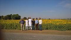 sun flower plantation at Kunri , Sindh (GlobalCitizen2011) Tags: sindh sindhi sind kunri mirch mandi chilli