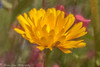 I will be the gladdest thing under the sun.  I will touch a hundred flowers and not pick one.   - Edna St. Vincent Millay (Kitsanne) Tags: lensbaby composerpro plasticoptic gardenflowers yellowwildflowers d80 kenkoextension