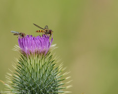 thistle nectar (RCB4J) Tags: ayrshire nature rcb4j ronniebarron scotland sigma150500mmf563dgoshsm sonyilca77m2 art hoverfly insect photography pollen pollenation thistles naturethroughthelens